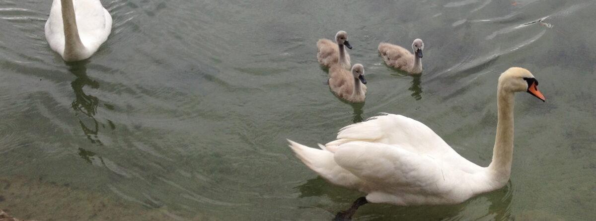 Foto mit Schwanfamilie